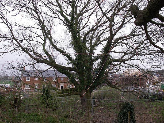 TENT1 TPO Oak Tree