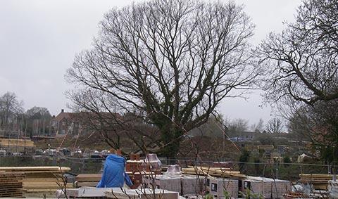 Letter to Ashford Borough Council regarding TENT1 TPO Oak Tree